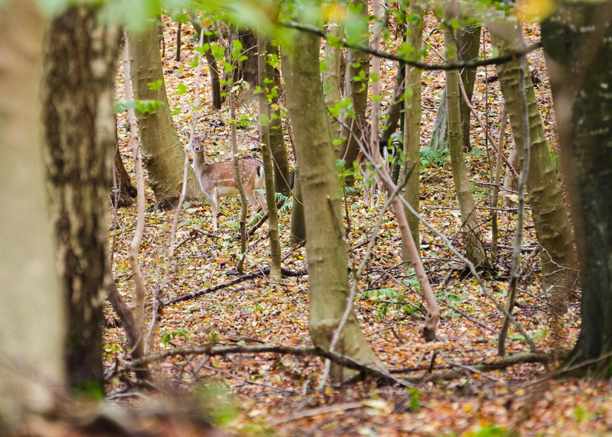 Rålam med mor i mellem træerne