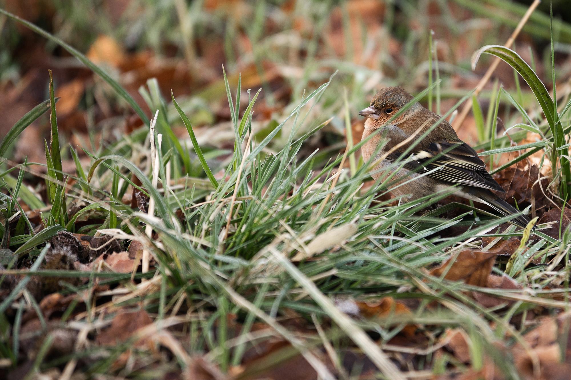 En lille buttet spurv gemmer sig bag en tot græs i skovbunden.